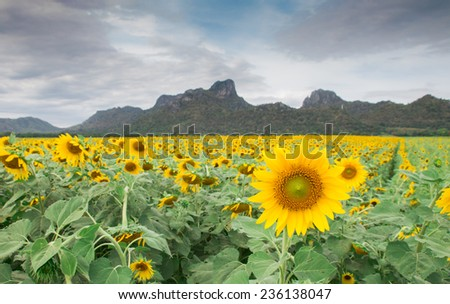 Sunflowers garden and mountain background.
