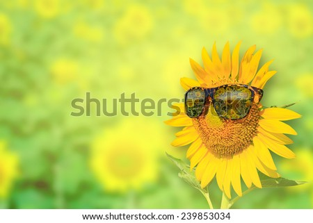 Sunflowers glasses on background : Summer Time - stock photo