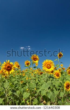 Sunflowers group on blue Sky - stock photo