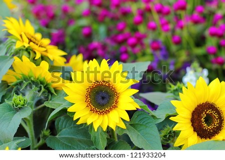 Sunflowers in a garden - stock photo