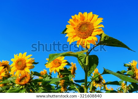sunflowers in a sunflower field with blue sky - stock photo