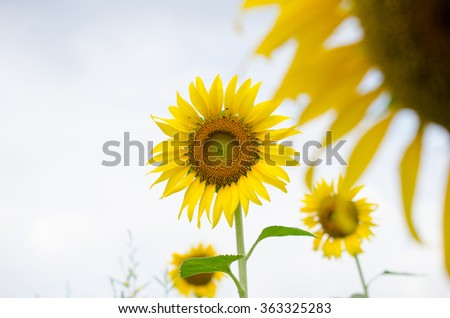 Sunflowers in Cloudy day