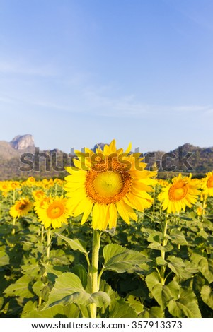 Sunflowers in field at sunrise - Khao Jeen Lair, Lopburi, Thailand.