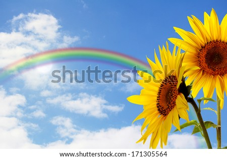 sunflowers in front of a blue sky with rainbow - stock photo