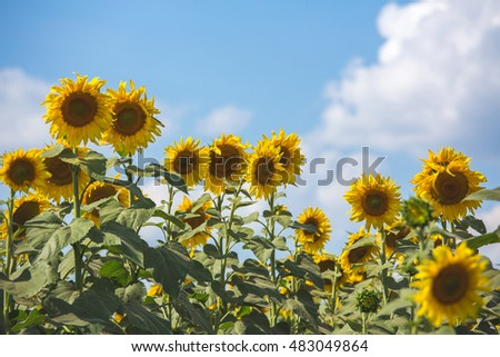 Sunflowers in the field, nature, summer colors, flowers
