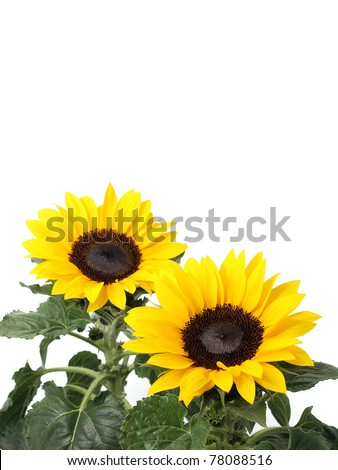 Sunflowers isolated on the white background - stock photo