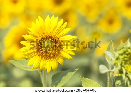 Sunflowers macro detail. - stock photo
