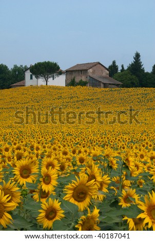 Sunflowers on a hillside in Italy