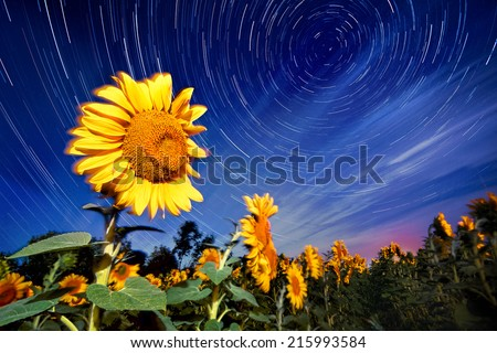 Sunflowers on night - with stars sky and star trails - stock photo