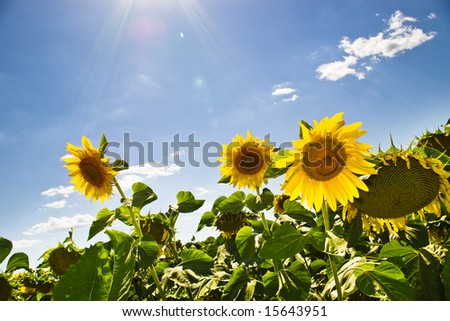 sunflowers on summer field with sun rays