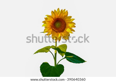 Sunflowers  on the white background - stock photo