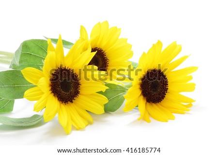 Sunflowers on white background - stock photo