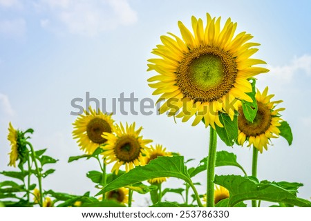 Sunflowers or Helianthus annuus field. It  is an annual plant in the family Asteraceae with a large flower head.