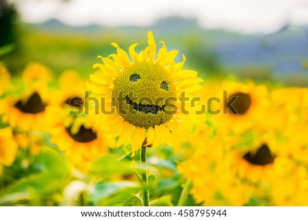 sunflowers smiling on a field of sunflowers in the summer, on a sunny day - stock photo