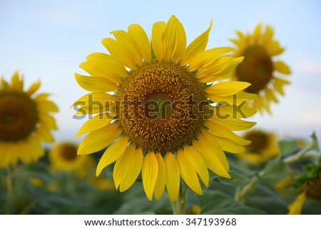 Sunflowers,Sunflowers blooming on the morning time,Sunflowers fresh, beautiful sunflowers,Bright sunflowers on the blue sky background - stock photo