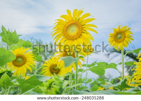 Sunflowers under the blue sky
