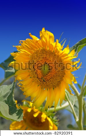 sunflowers with blue sky background