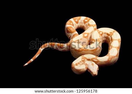 Sunglow Red Tail Boa Sunglow Columbian Red Tailed