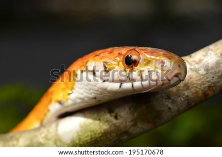 Sunkissed Corn Snake close up eye and detail scales - stock photo