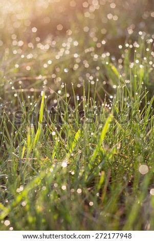 sunlight and bright dew on green grass in summer morning