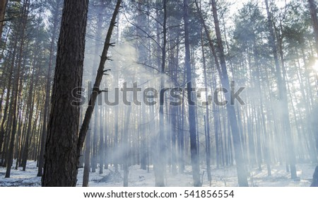 Sunlight and smoke in the forest between the trees strains in winter period