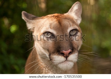 Sunlight filtering through jungle foliage lights up the head of a cougar who is staring with intent. - stock photo
