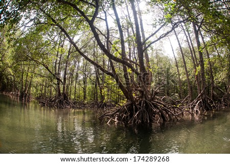 Sunlight filters through the canopy of a mangrove forest in the Mergui Archipelago, Myanmar. Mangroves serve as nurseries for marine life, filters for land runoff, and buffers for waves and wind. - stock photo