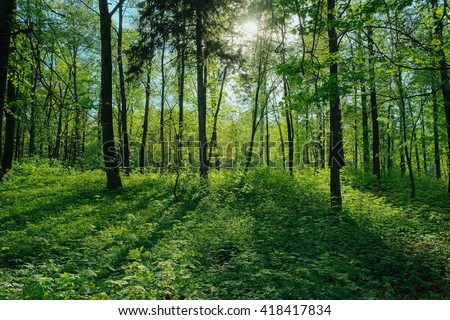 Sunlight in a green forest. Fresh spring forest. Sunlight between forest trees. Sun beams through vivid green forest. Forest field. Forest trees. Forest view in a daylight. Summer forest. Green forest - stock photo