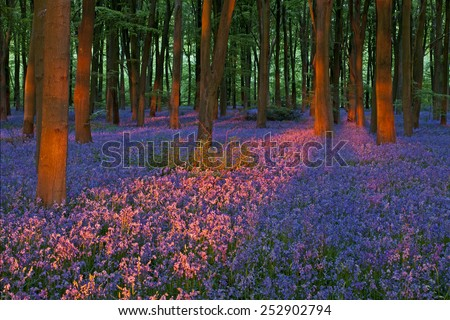Sunlight in a Hampshire Bluebell Wood - stock photo