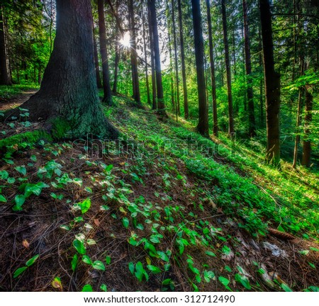 Sunlight In Deciduous Forest, Summer Nature. Sunny Trees Of Wild Forest in Poland. Woods Background.