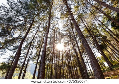 Sunlight on the top of green pines - stock photo