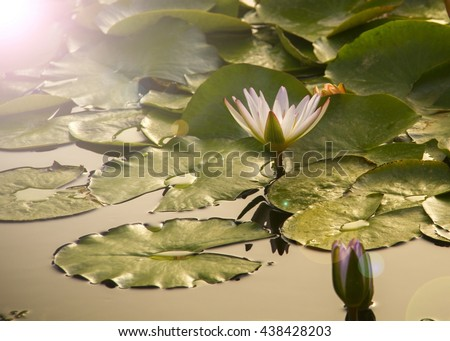 Sunlight on Water lilies at pond.