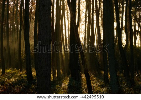 Sunlight peeking through various tall dark trees in forest with shrubs and mossy ground area - stock photo