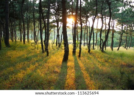 sunlight rays in the pine forest - stock photo
