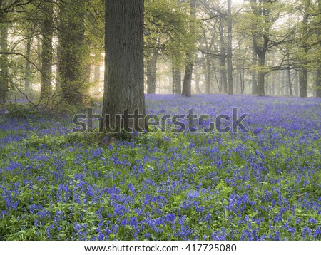 Sunlight shing through the trees onto bluebells at Blickling. - stock photo
