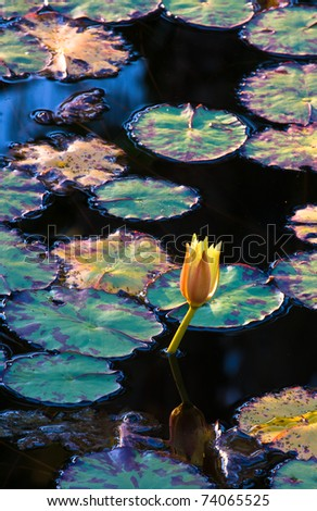 Sunlight Striking Lily-pads and Flower - stock photo