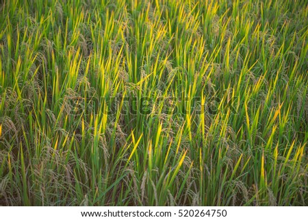 sunlight through rice field in the evening