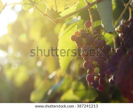 Sunlights in the morning on Bunch of grapes on vineyard
