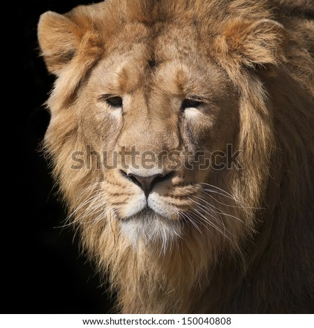 Sunlit face of a young Asian lion. Animal portrait of the King of beasts. Greatness and wild beauty of the severe big cat. Calm look of the most mighty raptor of the world.