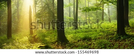 Sunlit Foggy Beech Tree Forest  - stock photo