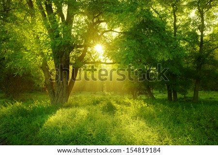 Sunlit Foggy Forest with Black Locust Tree on Clearing - stock photo