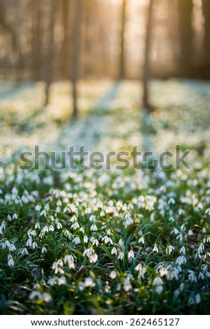 Sunlit forest full of snowdrop flowers in spring season