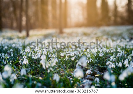 Sunlit forest full of snowdrop flowers in spring season - photo with extremely blurred background