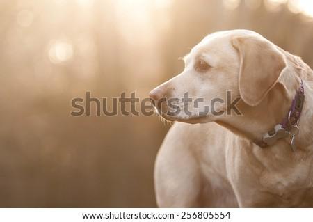 sunlit labrador - stock photo