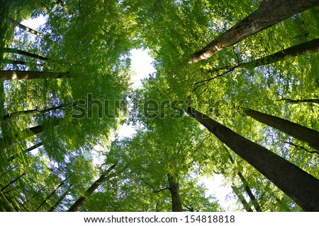 Sunlit Old Beech Trees from Below - stock photo