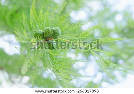Sunlit pastel cypress tree branch with lush foliage and green cones. Stock photo with selective soft focus blurred bokeh background and shallow DOF. - stock photo