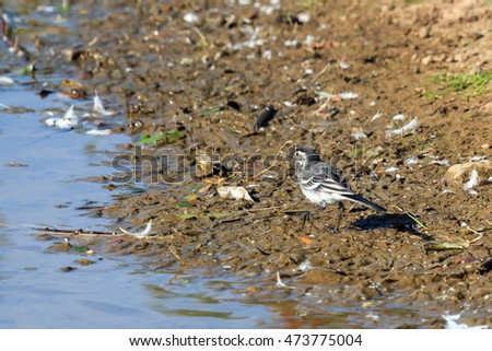 Sunlit Pied Wagtail looking for food at the waters edge in the UK