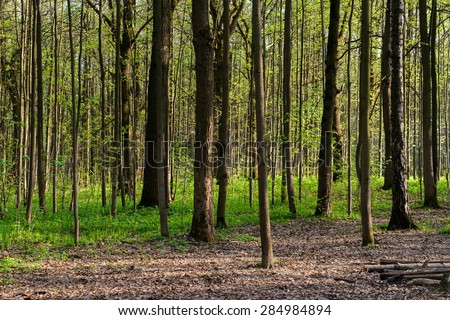 Sunlit Spruce Tree Forest - stock photo