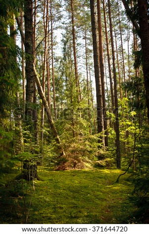 Sunlit Spruce Tree Forest. beautiful green nature - stock photo