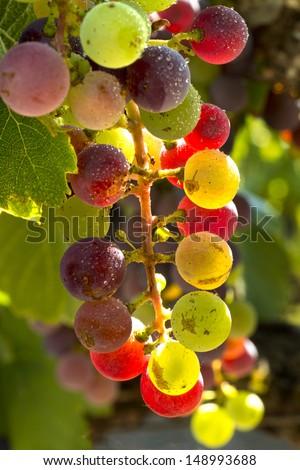 Sunlit Wine Grapes  - stock photo